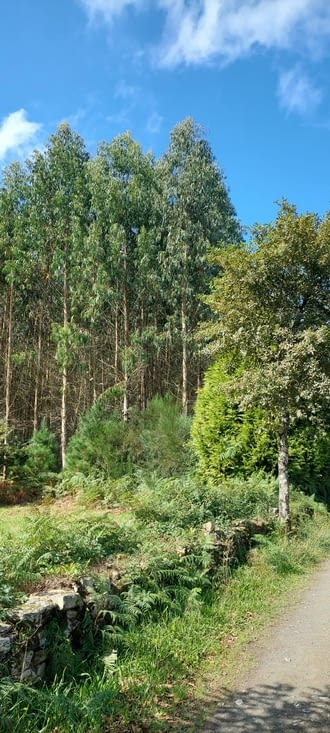 Les eucalyptus alternent avec les chênes