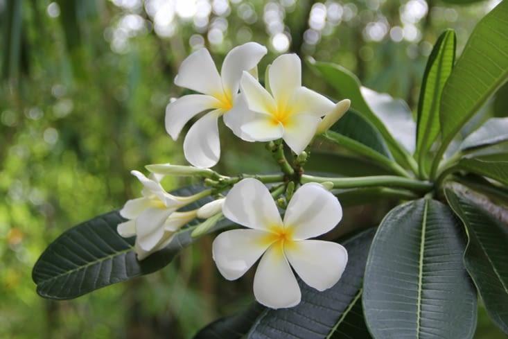 Heliconia Caribaea