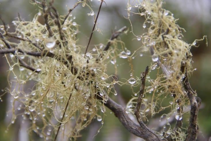 Humidité ambiante sur le lichen