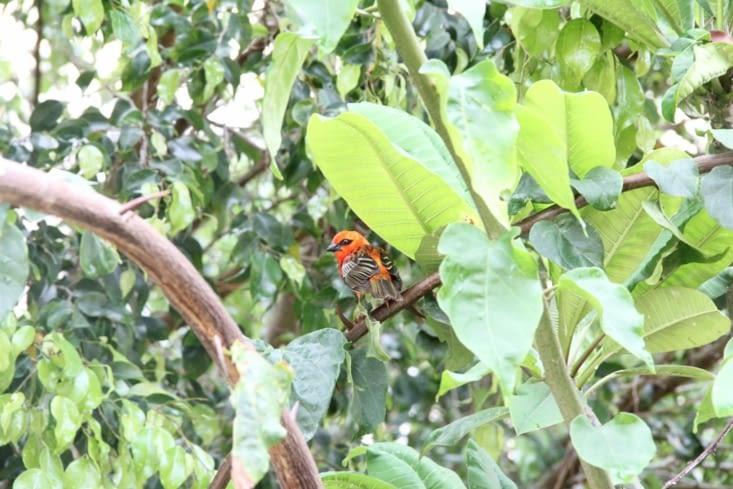 Le Foudi rouge - Le mâle cardinal devient rouge en période de reproduction