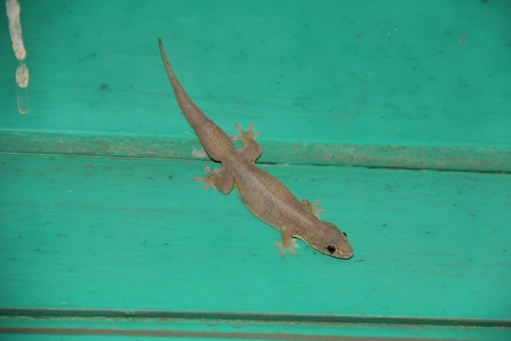 Le margouillat (petit reptile)