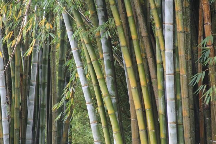 Des bambous par milliers