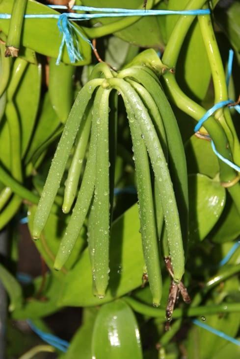 Les gousses de vanille fraîches