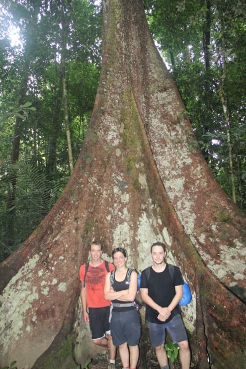 Big tree de Malaisie