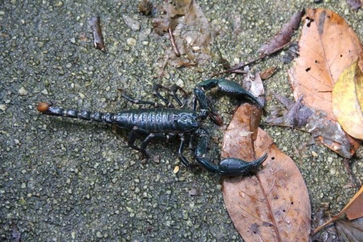 Scorpion croisé sur le chemin