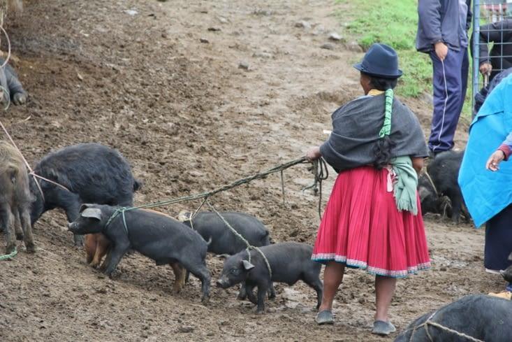 ...et encore des cochons !