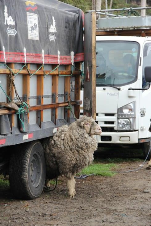 Un mouton coincé sous le camion