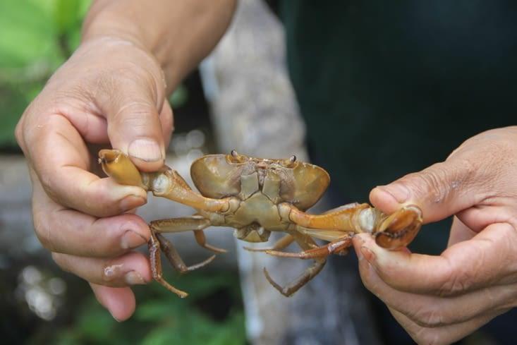 Crabe d'eau douce