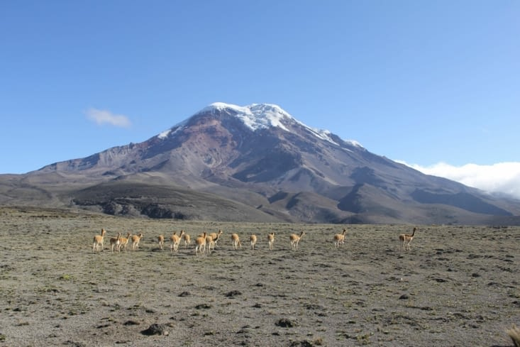 Chimborazo et troupeau de vigognes