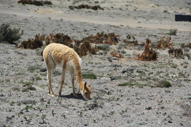 Pause photo pour les vigognes