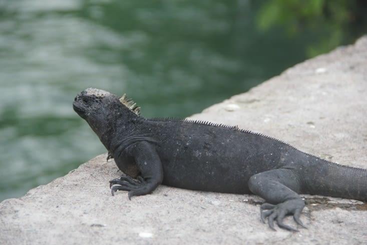 Iguane marin femelle