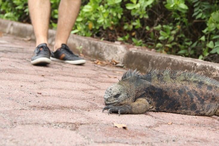 Les iguanes marins squattent le chemin