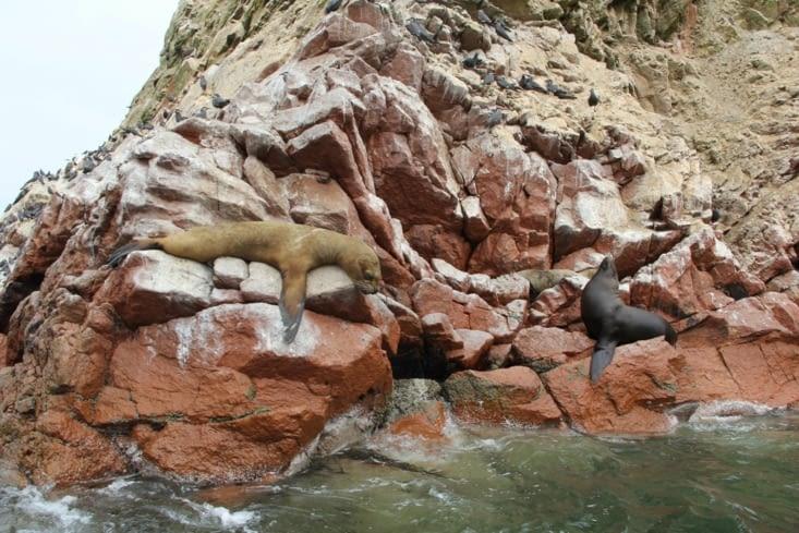 Les lions de mer roupillent