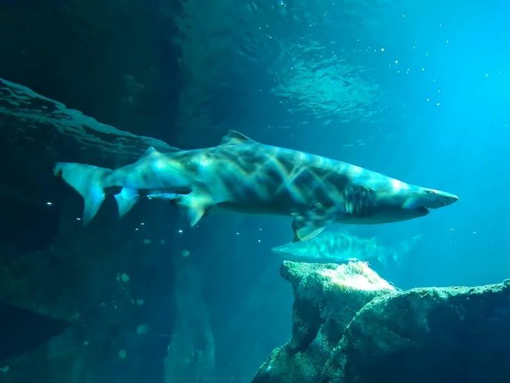 Les requins, qui impressionnent les petits (et les grands)