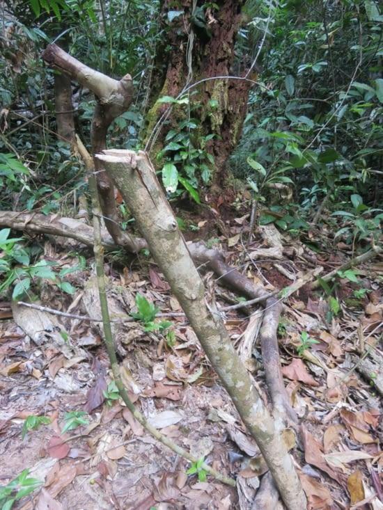 C'est un des très nombreux pièges que Clement desarmait avec plaisir. Le braconnage est largement présent dans la forêt