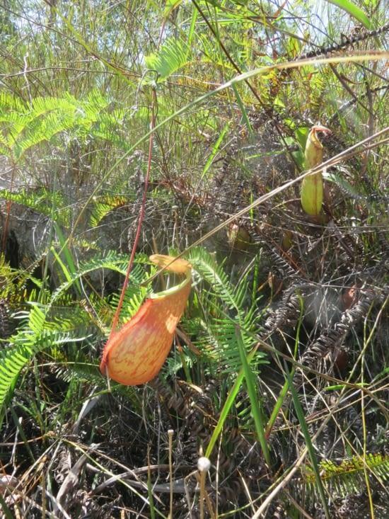 Plantes carnivores. En ouvrant les yeux, la jungle est pleine de surprises.