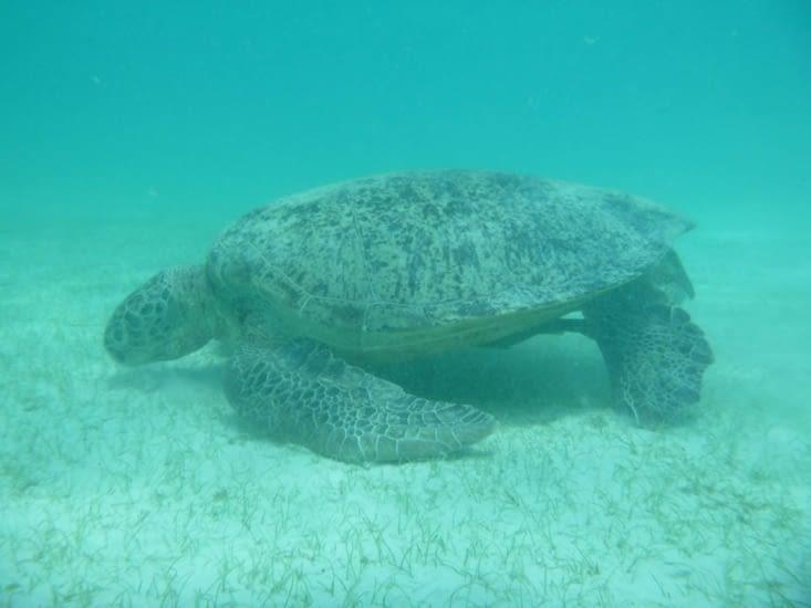 la tortue mange les algues au fond de l'eau.
