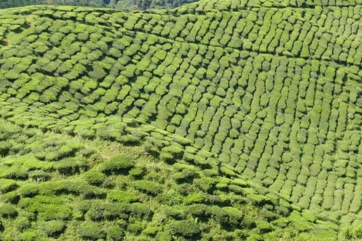 du vert, que du vert (même pour le thé noir...)