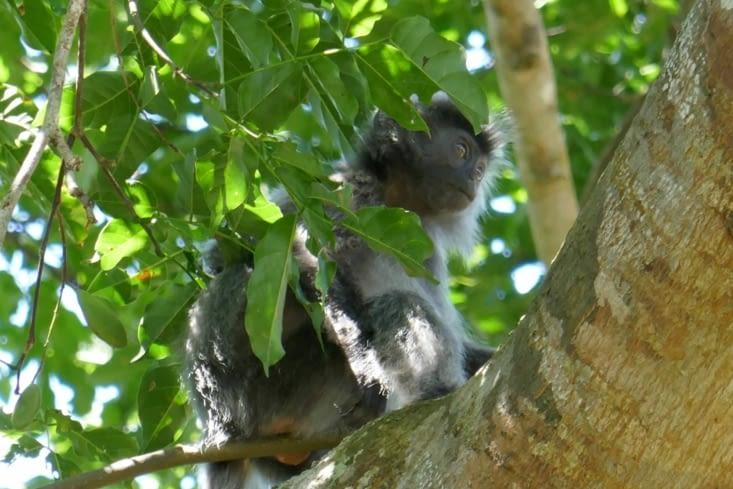 une autre espèce de singe
