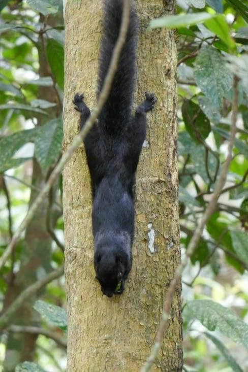 un écureuil noir