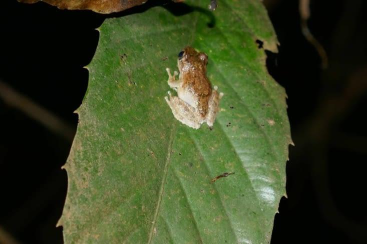 Une grenouille très rare et endémique