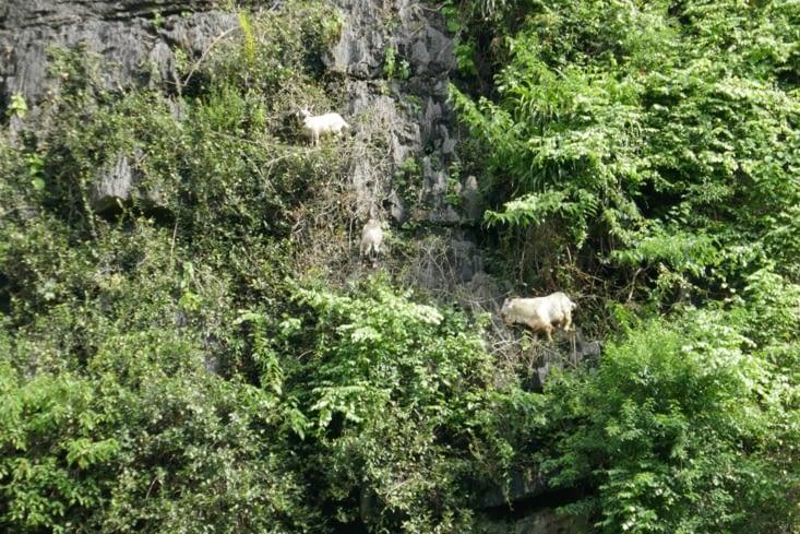 Il y a des chèvres mutantes qui font de l'alpinisme