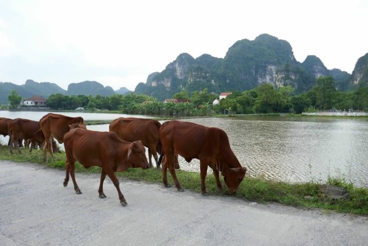 Les vaches sont sur les routes, un peu partout
