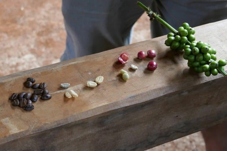Les grains de café à différentes étapes