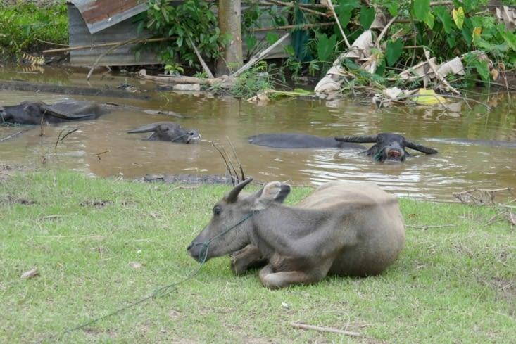 les buffles aussi aiment farnienter.... mais dans la boue