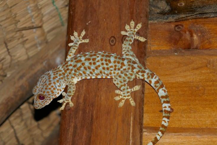 Attention, l'hôtel pour Robinson est déjà habité par de beaux geckos