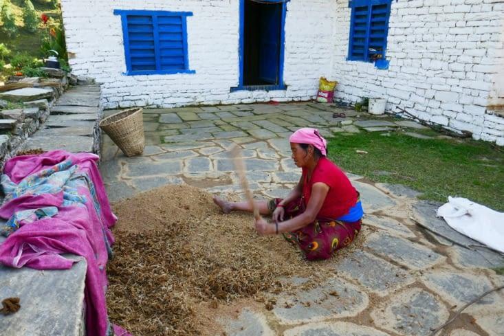 Le millet est battu pour séparer les graines de la tige