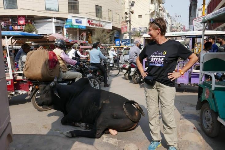 les vaches au milieu de la circulation