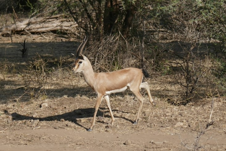 Voici l'antilope indienne si mes souvenirs sont exacts