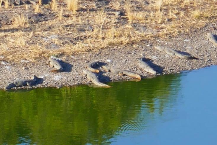 quelques crocos affamés attendant les animaux venant boire
