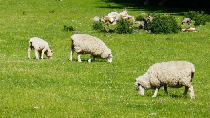 Et dans la laine du mouton.. ou dans les côtelettes d'agneau  au barbecue