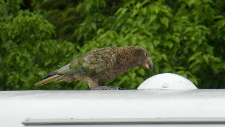 Un perroquet kea sur le toit de notre camper-van