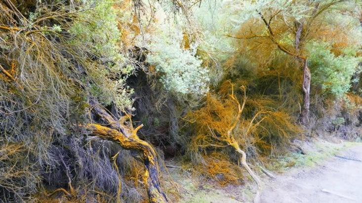 Les arbustes prennent des couleurs étranges