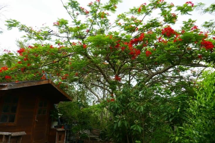 Un joli flamboyant en fleur à l'arrière de la maison
