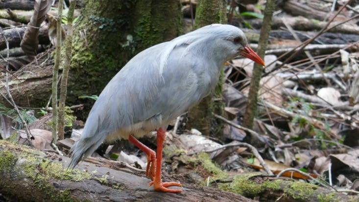 Un oiseau emblématique du parc: le Cagou