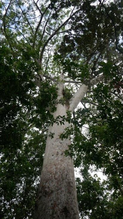 Le grand Kaori âgé de plus de 1000 ans avec un diamètre de 2,7 m pour 40 m de hauteur