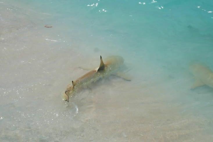 Les requins à pointe noire viennent jusqu'au bord de la plage.
