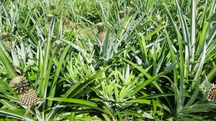 Des champs d'ananas le long de la route..... des ananas.