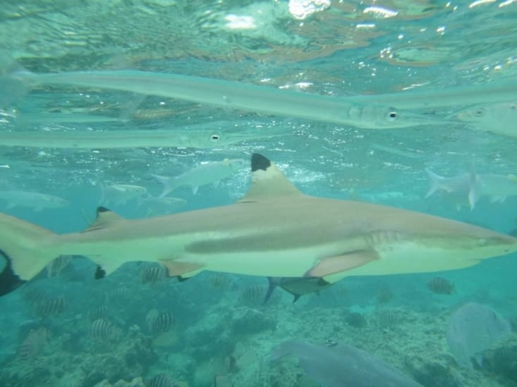 Quentin, le requin
