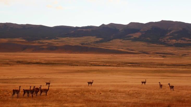 des guanacos dans ce qu'on nomme la pampa (prairie)