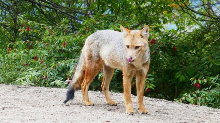 En cours de route, nous voyons un renard attiré par la nourriture qui se laisse approcher