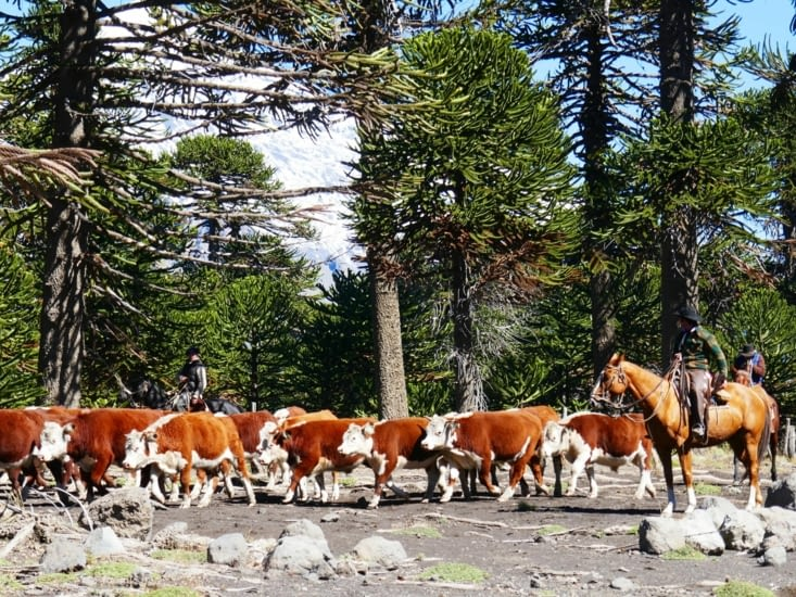 Et voici les célèbres gauchos avec leur bétail