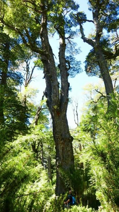 Grande balade en partie dans une magnifique forêt dans la région de Pucon