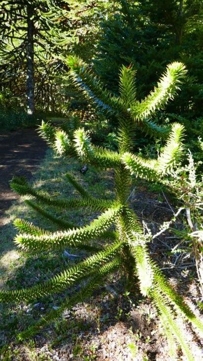 Un tout jeune Araucaria avec des feuilles épaisses, dures et très piquantes