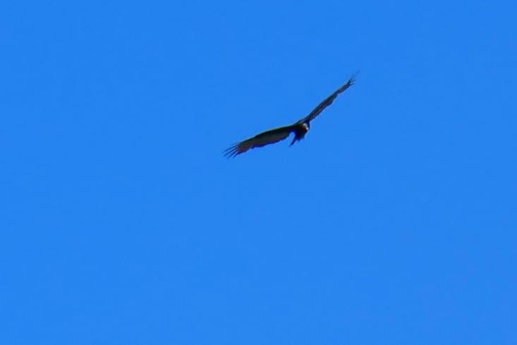Pour compléter ce tableau idylique, un condor au dessus de nous