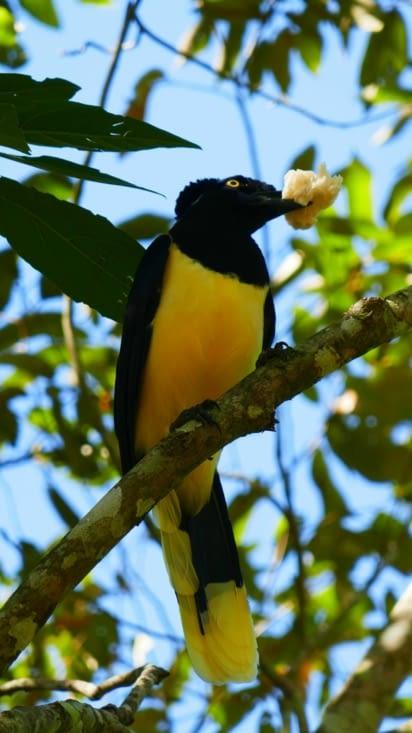 De jolis oiseaux; ici un geai acahé.